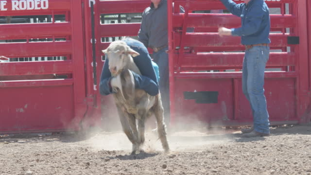 young cowgirl have fun riding a sheep backwards - rodeo stock videos & royalty-free footage