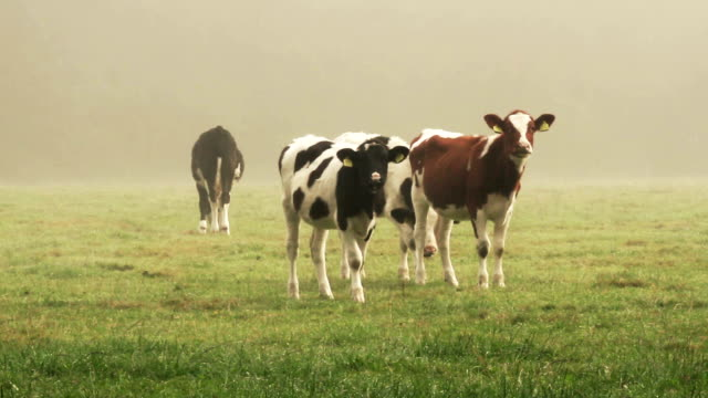 young cows in dawn pasture - cow stock videos & royalty-free footage