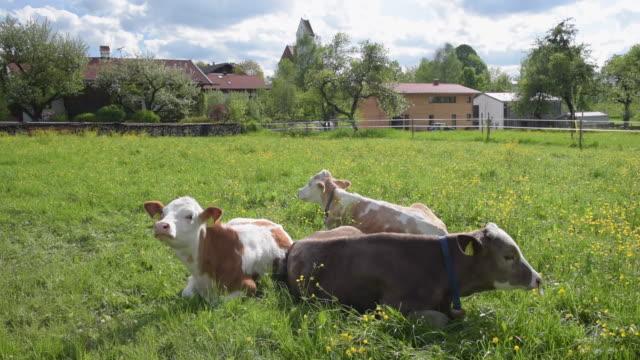 vídeos de stock e filmes b-roll de young cows ruminate on buttercup meadow - ranunculus asiaticus