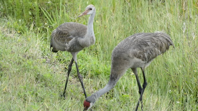 young crane watching his parent find food - foraging stock videos & royalty-free footage