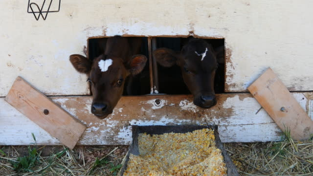 young dairy calf waiting to be hand fed - young animal stock videos & royalty-free footage