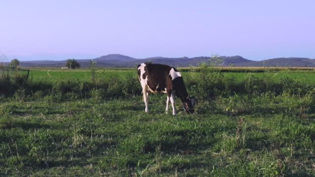 young dairy domestic cattle - grazing stock videos & royalty-free footage