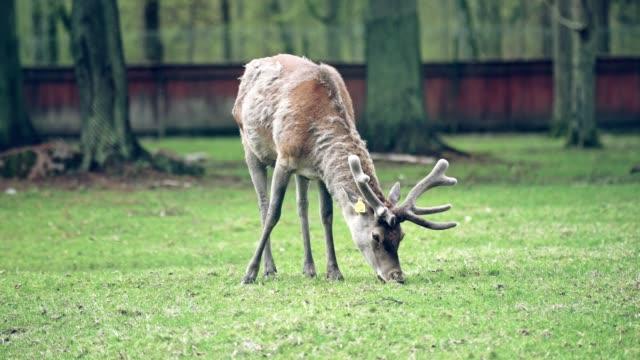 young deer in a nature reserve - femmina di daino video stock e b–roll