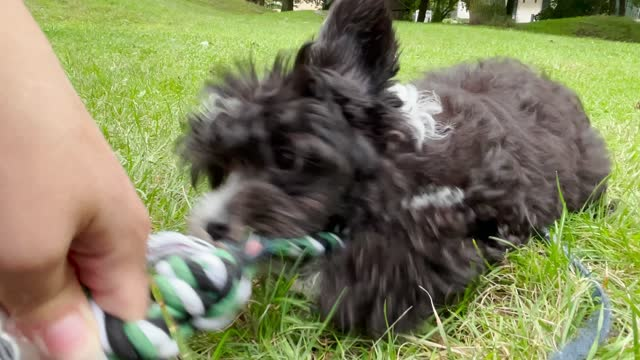 junger hund spielt tauziehen mit besitzer im park - war stock-videos und b-roll-filmmaterial