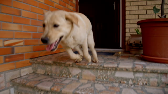 stockvideo's en b-roll-footage met slo mo young dog running down the porch - ontsnappen