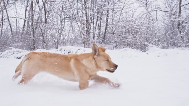 slo mo young dog running in the snow - pursuit sports competition format stock videos and b-roll footage