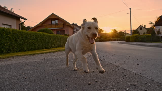 SLO MO Young dog running in the village