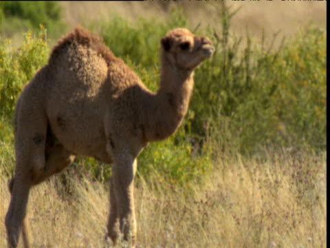 young dromedary camel walks through bush to join its mother, northern territory, australia - ラクダ点の映像素材/bロール