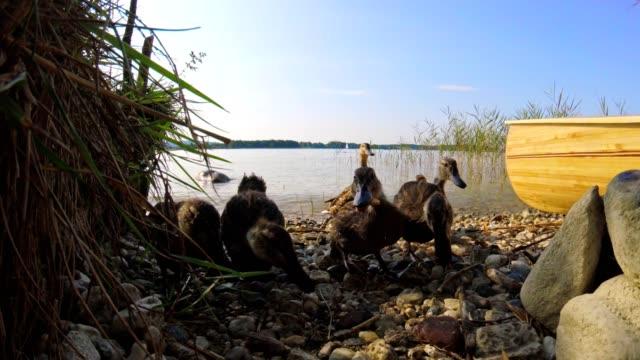 Junge Enten am See Chiemsee, Bayern, im Sommer