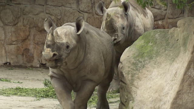 young eastern black rhinos who are to be relocated to rwanda in their pen at dvur kralove safari park czech republic - zoo stock videos & royalty-free footage