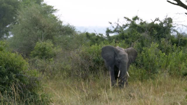 若い象を食べる草 - ウガンダ点の映像素材/bロール