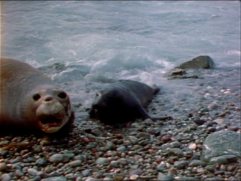 a young elephant seal joins a mature one on a beach, both vocalizing. - elephant seal stock videos & royalty-free footage