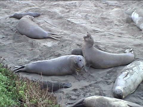 vídeos de stock e filmes b-roll de ms, ha, young elephant seals play-fighting, piedras blancas, san simeon, california, usa - elefante marinho