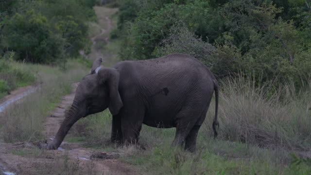 MS Young elephant using trunk to dislodge mud / Kruger National Park, Mpumalanga, South Africa