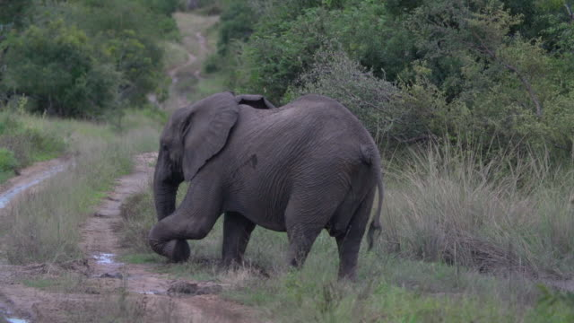 ms young elephant using trunk to dislodge mud / kruger national park, mpumalanga, south africa - 一匹点の映像素材/bロール
