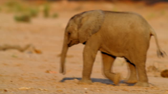 PAN MS Young elephant walking / Namibia