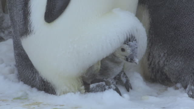 cu ts pan young emperor penguin chick caked in snow on parents feet as parent walking / dumont d'urville station, adelie land, antarctica - young bird stock videos & royalty-free footage
