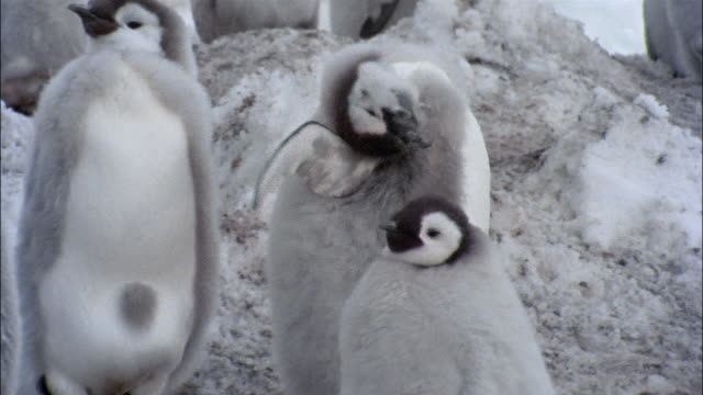 stockvideo's en b-roll-footage met cu, young emperor penguins on snow, antarctica - dierenverzorging