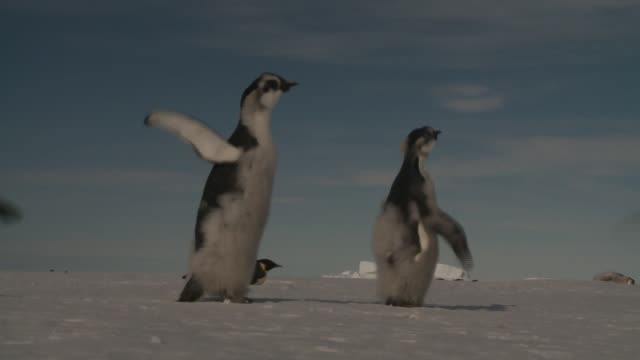young emperor penguins walk across a snowfield and shake their flippers. available in hd. - 羽ばたく点の映像素材/bロール