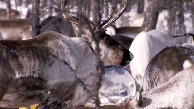 a young evenki boy leads a reindeer wearing a bell through a herd. available in hd - nutztier oder haustier stock-videos und b-roll-filmmaterial