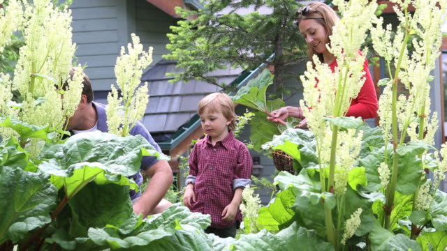 Young family cuts rhubarb from garden, boy bites each piece