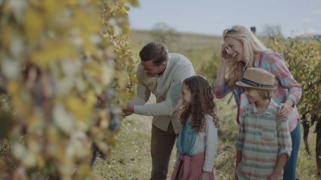 young family with two children tasting grapes in vineyard - winemaking stock videos & royalty-free footage