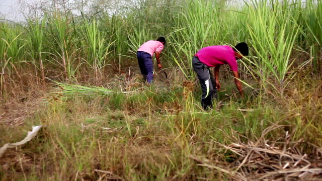 young farmer cutting crop use as animal fodder - sugar cane stock videos and b-roll footage