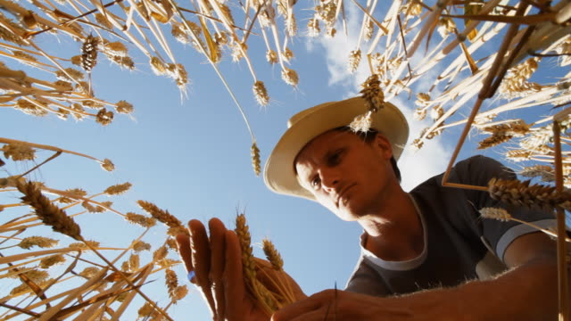 HD: Young Farmer Examining The Wheat