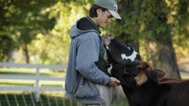 vidéos et rushes de ms young farmer feeding cows with bottled milk in pasture / richmond. virginia, usa - producteur