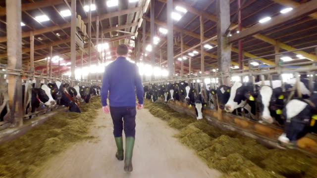 A young farmer in his own modern cowshed for dairy cows in North Friesland