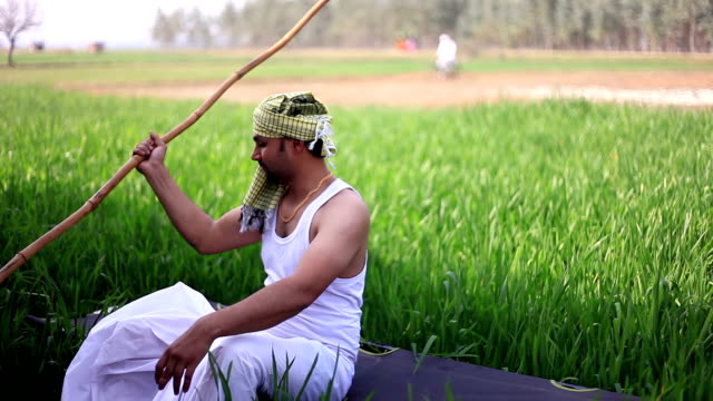 young farmer relaxing in the field of wheat crop - dhoti video stock e b–roll