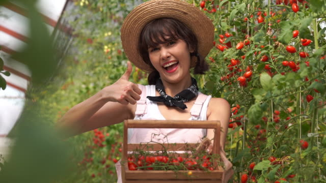 young farmer woman showing basket of tomatoes in oganic farm , gmo food , biofood , alternative ifestyle , good condition , thumbs up gesturing - good condition stock videos & royalty-free footage