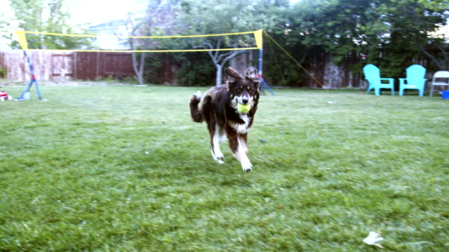 a young father helps his four year old daughter throw a ball so their border collie dog can fetch it in their back yard - standing water yard stock videos & royalty-free footage