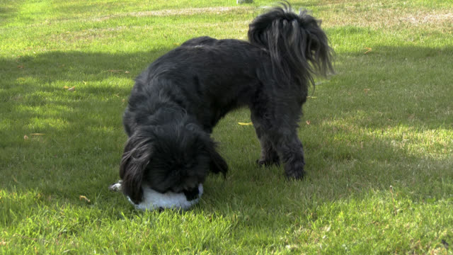Young Female Lhasa Apso in a garden