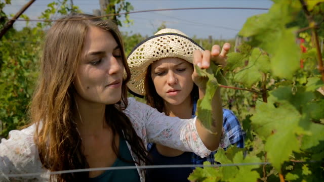 vídeos de stock e filmes b-roll de young female oenologist checking wine grapes ready for harvest - videira
