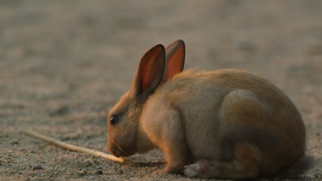 MS young feral domestic rabbit looks around on beach