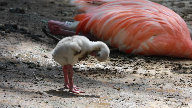 young flamingo in close range - flamingo bird stock videos & royalty-free footage