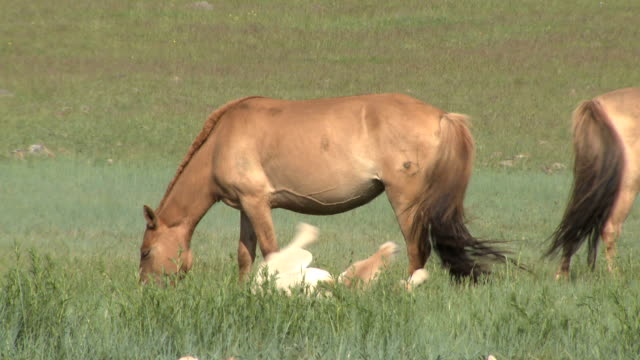 young foal rolling around on mongolian steppe - rolling stock videos & royalty-free footage
