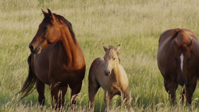 a young foal stays close to its mother grazing in a field of tall grass. - tierfarbe stock-videos und b-roll-filmmaterial