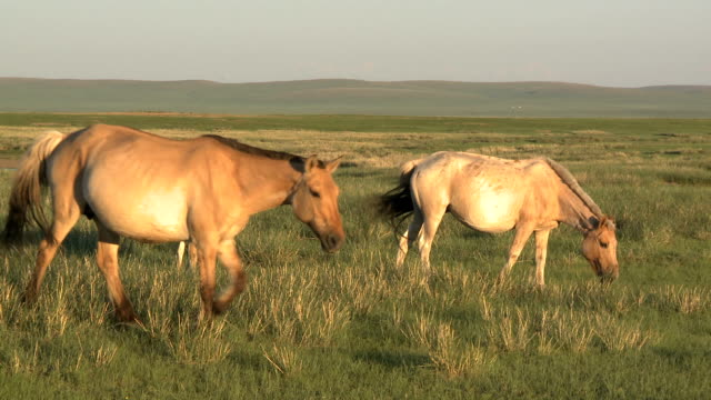 young foal with herd on mongolian steppe at sunset - independent mongolia stock videos & royalty-free footage