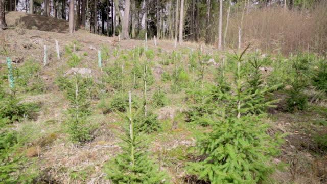 vídeos y material grabado en eventos de stock de jóvenes bosque plano de plataforma rodante - pino conífera