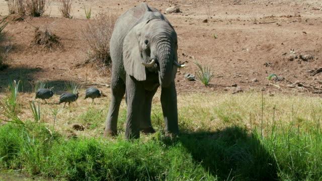 Young Forest Elephant Drinking Samburu  Kenya  Africa