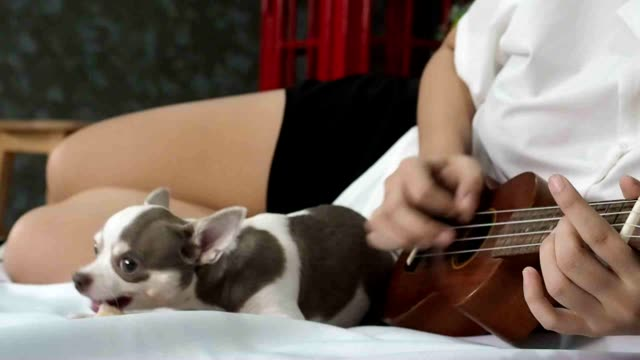 young friendly joyful girl playing the ukulele sitting on bed  with her friend a  chiwawa/chihuahua dog - perro stock videos & royalty-free footage