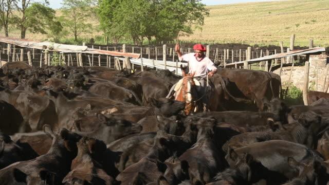 vídeos y material grabado en eventos de stock de joven gaucho en el pastoreo de caballos de ganado en corral - boina