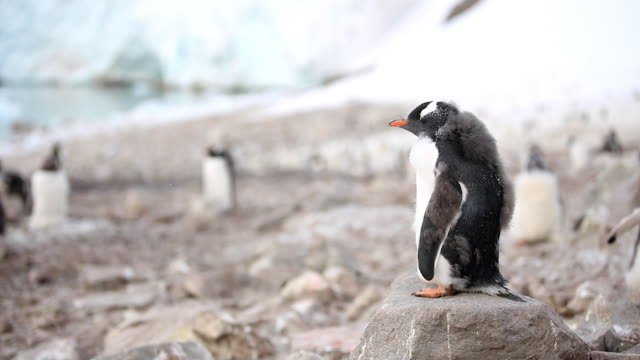 Young Gentoo Penguin standing on a rock, then jumps off and walks left