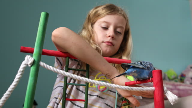 young girl playing with pet budgerigar - pets stock videos & royalty-free footage