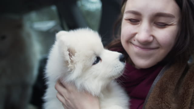 young girl with samoyed dogs in a car - puppy stock videos & royalty-free footage