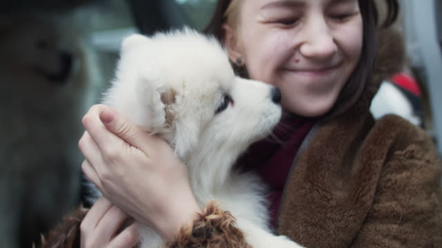 young girl with samoyed dogs in a car - kissing stock videos & royalty-free footage