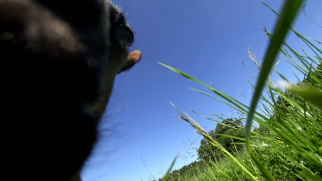 POV: Young goat on the meadow