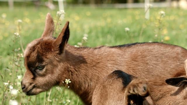 Junge Ziegen auf der Wiese